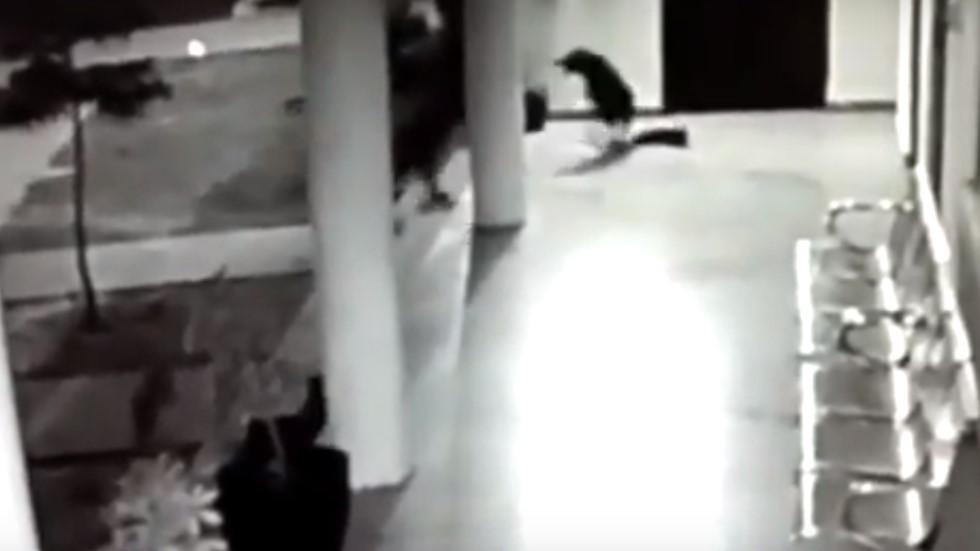 #Video Perra defiende a su cachorro de ataque de leopardo - Captura de pantalla