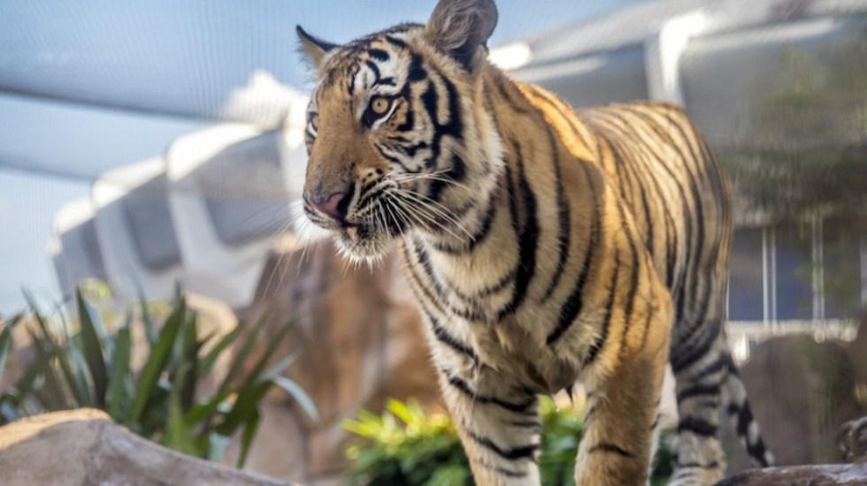 #Video Tigre mascota de universidad de EE.UU. 'aterroriza' a estudiantes - Foto de Louisiana State University