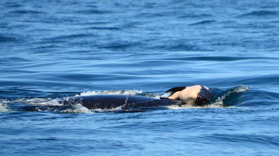 Ballena arrastra a su cría muerta más de un día - Foto de Center for Whale Research