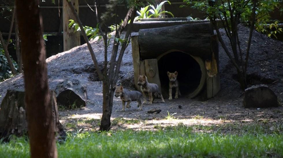 Abren convocatoria para nombrar a lobos nacidos en Los Coyotes
