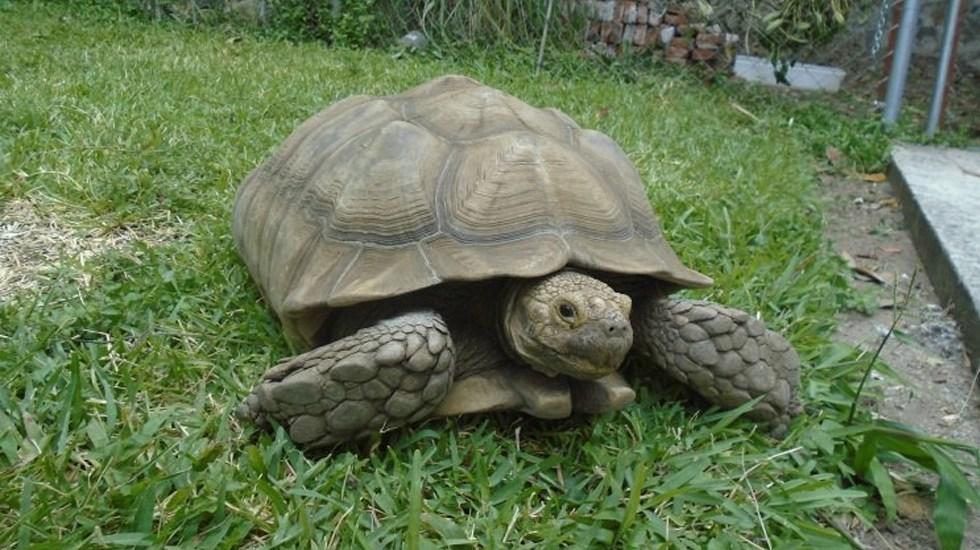 Profepa asegura a cinco tortugas sulcata en Morelos - Foto de Profepa