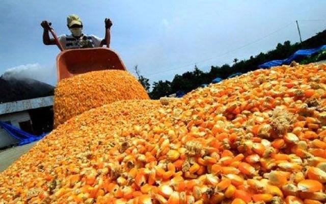 Científicos de la UNAM buscan mejoramiento genético del maíz - Foto de Internet