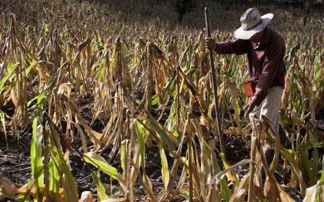 Sequía en Veracruz mata 70 por ciento de cultivos - Foto de internet