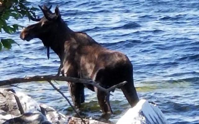 Alce muere ahogado al intentar escapar de turistas - Foto de AP