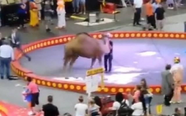 #Video Camello pierde el control en circo y hiere a siete - Foto Captura de Pantalla