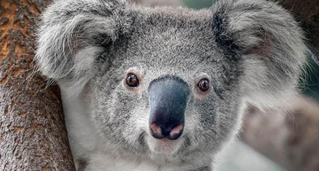 Koalas están en alto riesgo de extinción en Australia - Foto de Shutterstock