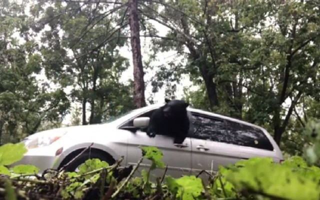 #Video Oso sube a camioneta de familia y escapa rompiendo ventana - Captura de pantalla