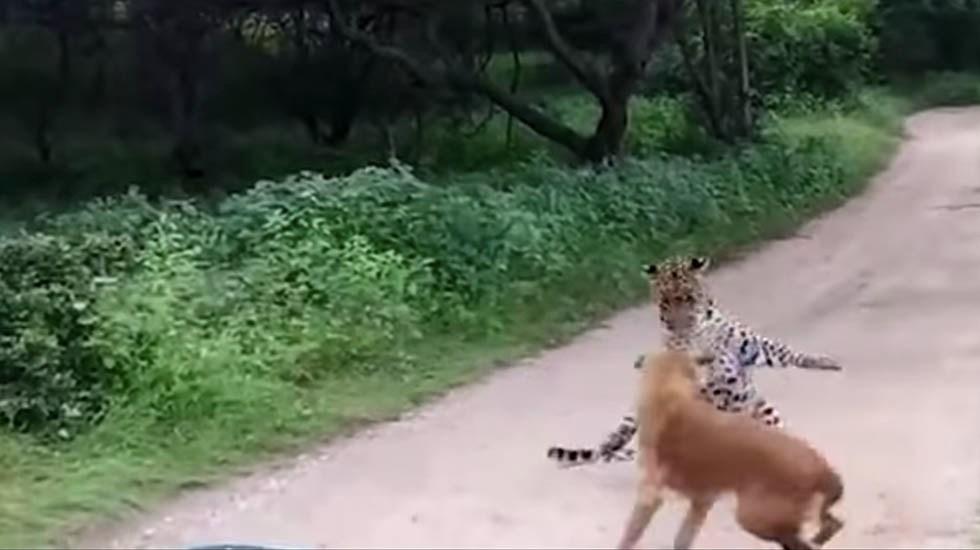 #Video Perro ahuyenta a leopardo que lo atacó - Captura de pantalla