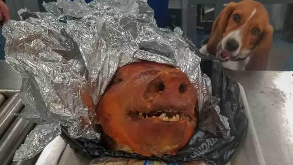 Perro descubre una cabeza de cerdo en el aeropuerto de Atlanta - Foto de Noticieros Televisa
