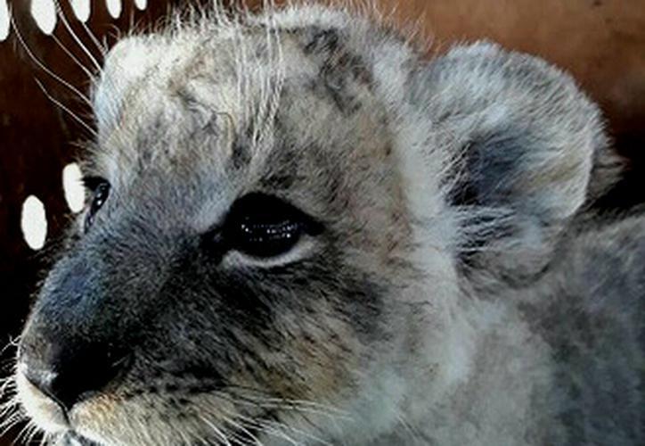 La hembra de león fue descubierta gracias a sus rugidos