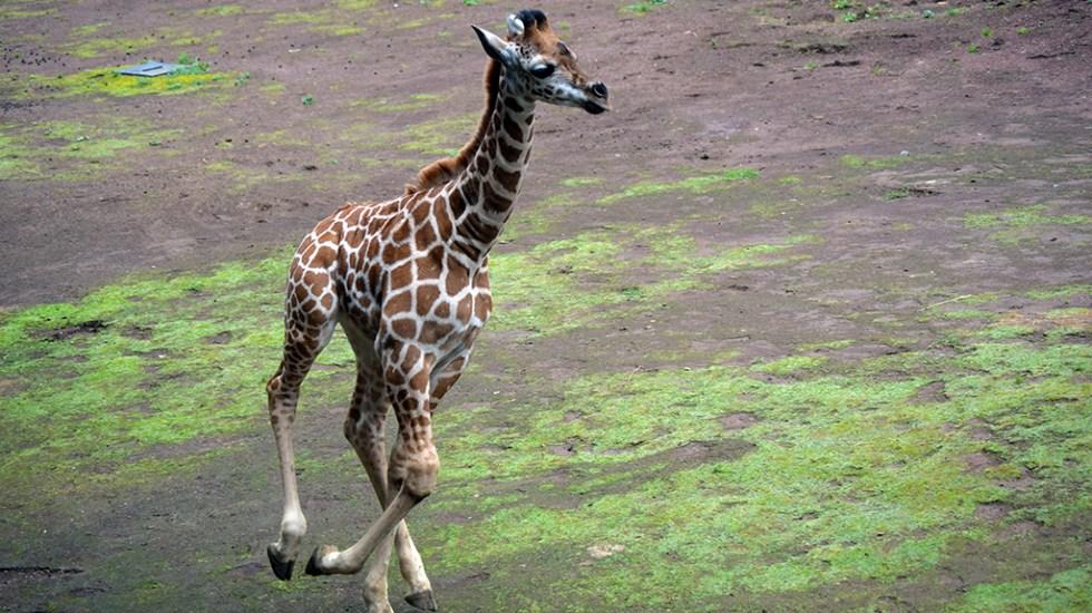 #Video Nace jirafa por segundo año consecutivo en Chapultepec - Jirafa recién nacida en el Zoológico de Chapultepec. Foto de Sedema