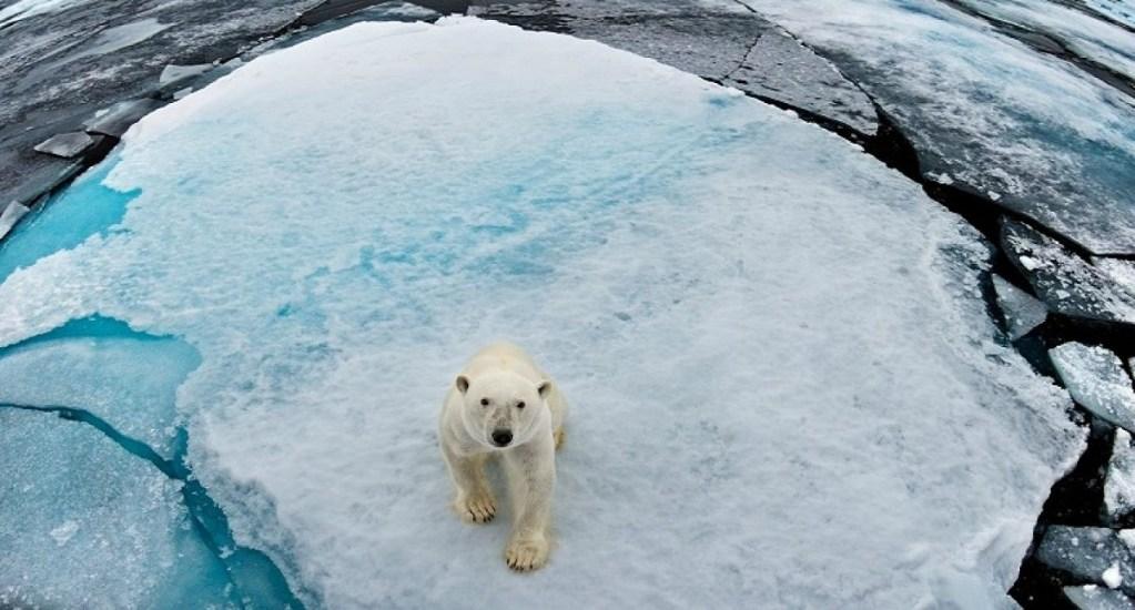 Poblaciones animales han disminuido más de 50 por ciento por los humanos - Oso polar. Foto de @SergiooFerrari