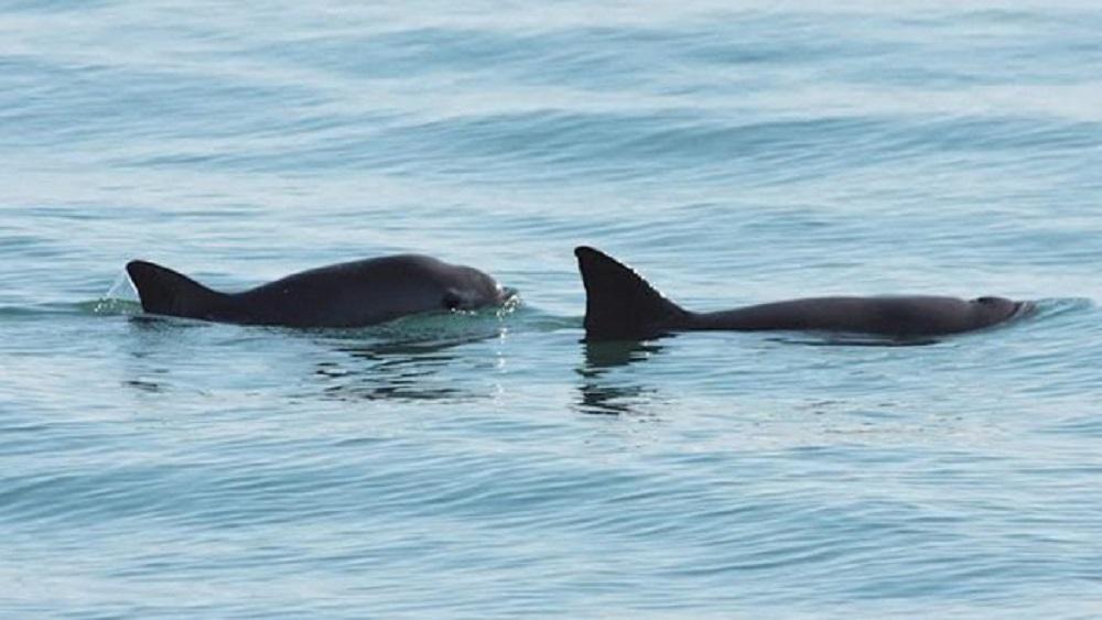 Declaran Patrimonio Mundial en peligro hábitat de la vaquita marina en México