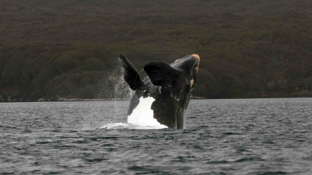 Es la ballena primer animal observable en detalle desde el espacio - Foto de British Antartic Survey