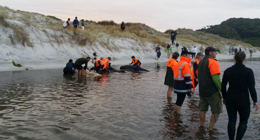 Luchan por rescatar a seis ballenas varadas en Nueva Zelanda - Rescate de ballenas varadas en Nueva Zelanda. Foto de @docgovtnz