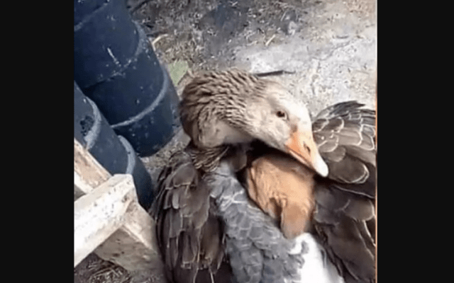 #Viral Un pato resguarda a cachorrito de morir congelado - Foto de Twitter