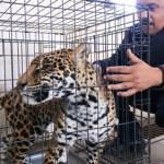 Rescatan a ejemplar de Jaguar en Chihuahua - rescatan a jaguar en chihuahua