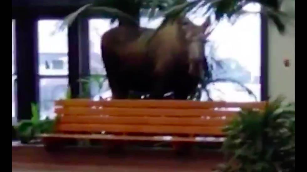 #Video Alce entra a hospital en Alaska para comerse las plantas - Captura de pantalla