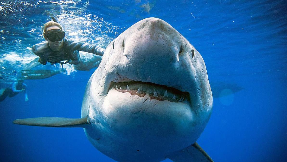 Fotos: este es el tiburón blanco más grande del mundo
