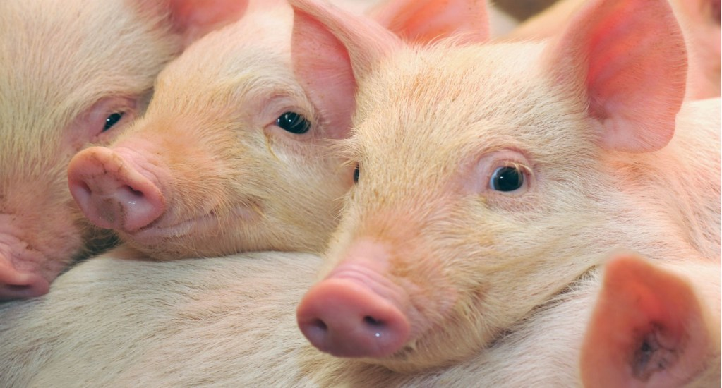Sancionan a 223 funcionarios por no contener gripe porcina en China - Cerdos bebé. Foto de Depositphotos