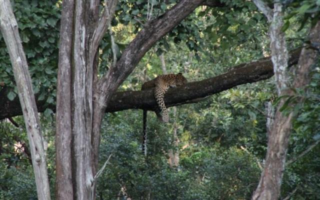 Usan drones para localizar a leopardo en India - Foto de archivo