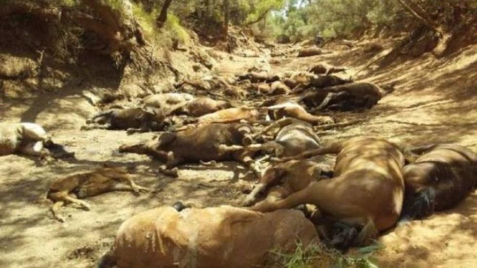 Mueren más de 90 caballos en Australia debido al calor - muerte caballos calor australia