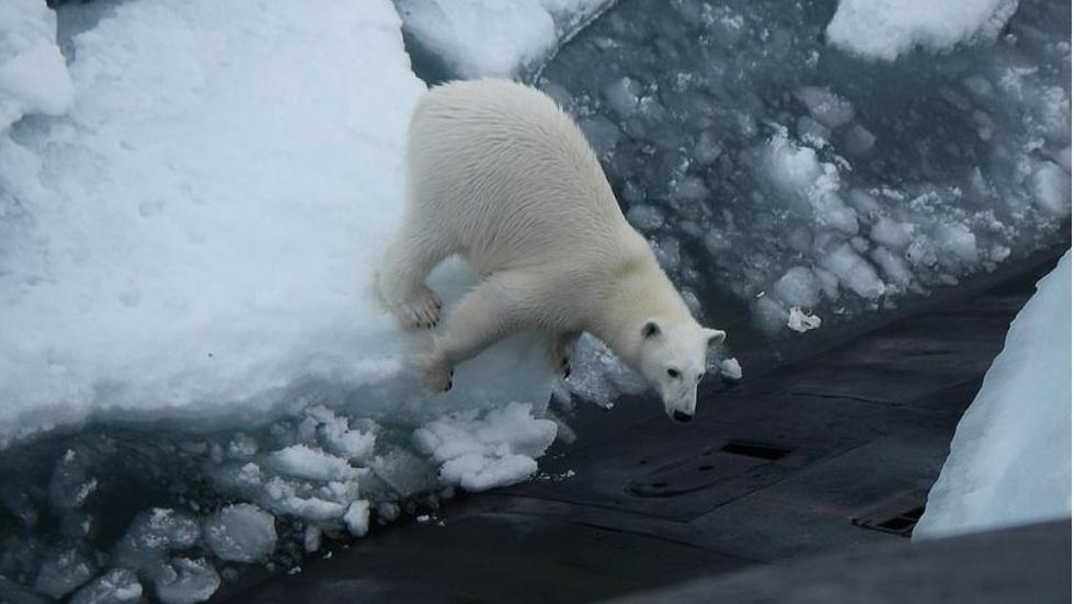 Oso polar se acerca a submarino ruso para buscar comida - Foto de RF/DPL / Sunday Express WS