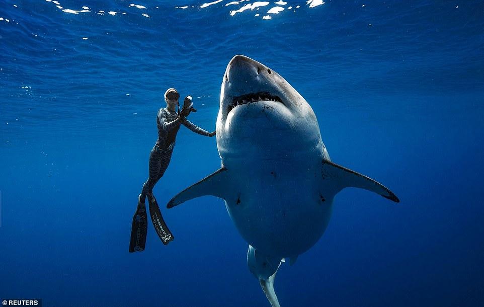 Este es el tiburón blanco más grande del mundo — Fotos