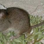 Se extingue en Australia el primer mamífero por cambio climático - cambio climático