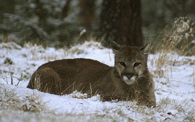 Corredor asesina a león de montaña durante ataque - León de montaña. Foto de @ColoradoParksandWildlife