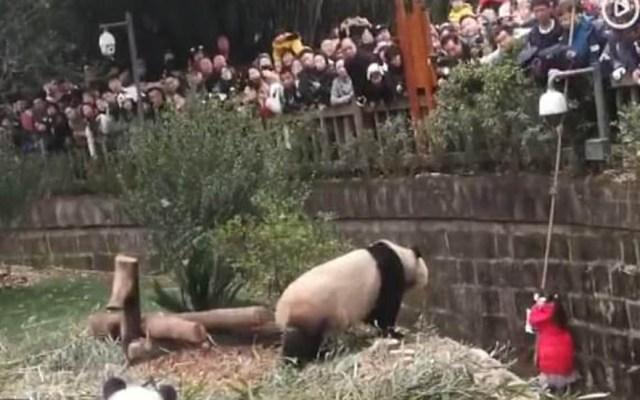 #Video Niña cae a hábitat de pandas en China - Niña en el fondo del hábitat de pandas gigantes en Sichuan. Captura de pantalla