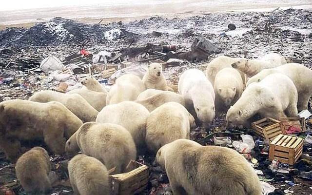 #Video Declaran emergencia en Rusia por invasión de osos - Osos polares hurgando entre la basura. Foto de Daily Mail