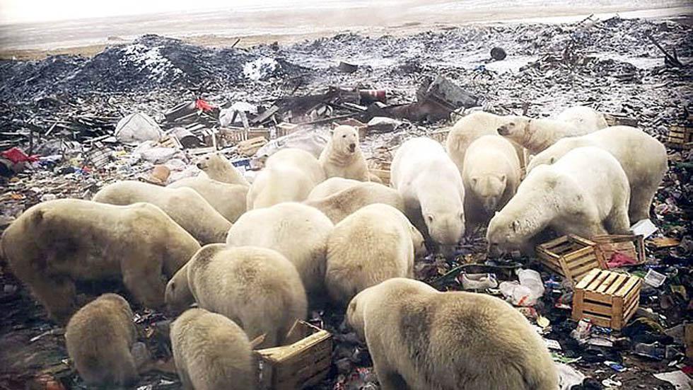 Osos polares hurgando entre la basura. Foto de Daily Mail