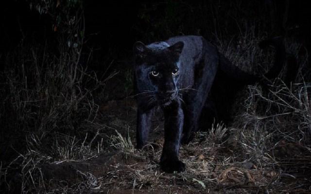 Fotografían por primera vez a leopardo con melanismo - Leopardo negro con melanismo. Foto de Will Burrard-Lucas