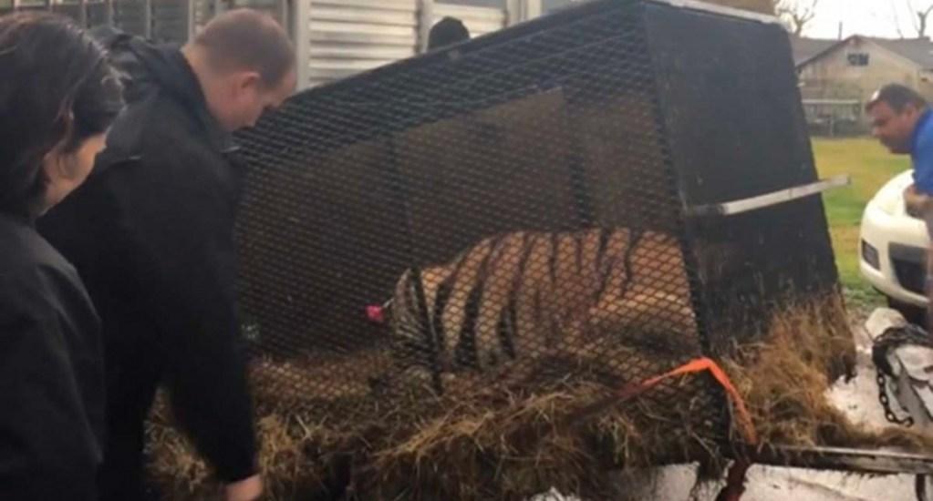 Entra a casa abandonada para fumar mariguana y encuentra un tigre - Foto de houstontx.gov / barc