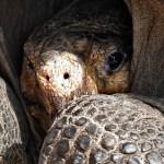 Hallan tortuga de Galápagos que se creía extinta hace más de 100 años - Foto de AFP