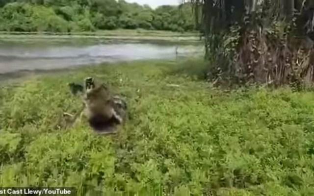 #Video Cocodrilo persigue a pescador en Australia - cocodrilo pescador australia