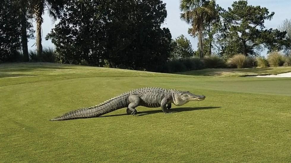 #Video Cocodrilo gigante aparece en campo de golf - Foto de Ed Vance
