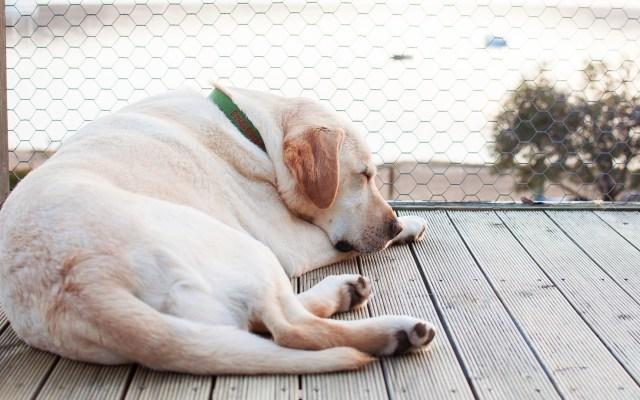 El labrador es el perro más popular de Estados Unidos - Un perro labrador. Foto de Sarah Crawford para Unsplash