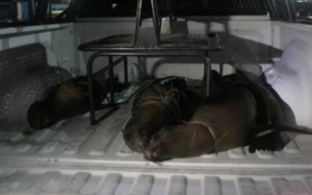 Profepa presenta denuncia penal por muerte de cuatro lobos marinos - Foto de Profepa