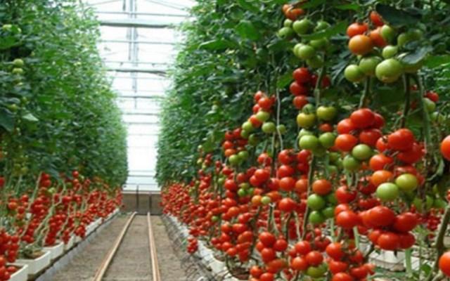 Aranceles de EE.UU. afectarían a 380 mil familias: tomateros - aranceles tomate mexico