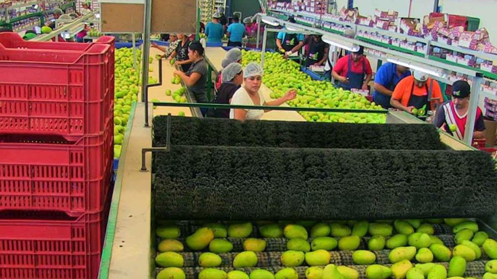 Productores de mango de Oaxaca pierden millones por cierre de garitas - Fábrica de mangos. Foto de Excélsior