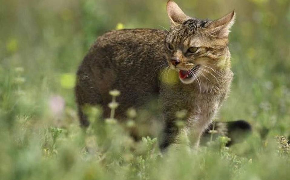 gatos salvajes australia