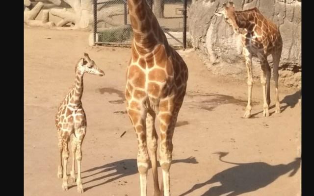 Nace jirafa en el Zoológico de Chapultepec - jirafa