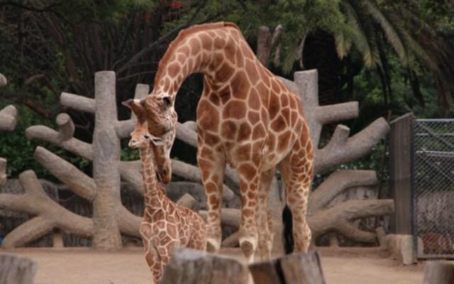 Nombran Jira-fifí-ta a jirafa bebé de Chapultepec - Foto de Sedema