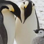 Cambio climático acaba con crías de pingüinos emperadores - Foto de British Antarctic Survey