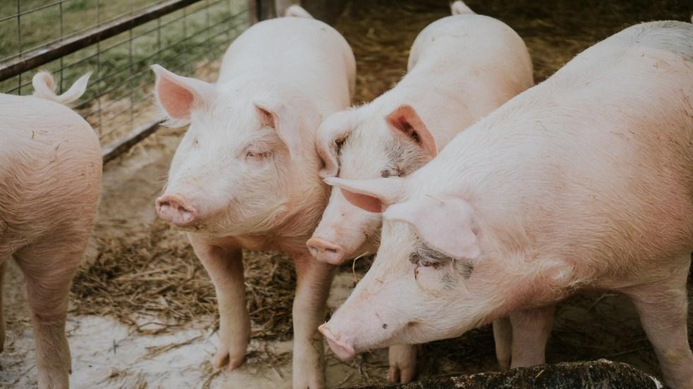 Alerta en México y Centroamérica por brote de peste porcina africana - Puercos. Foto de Amber Kipp / Unsplash