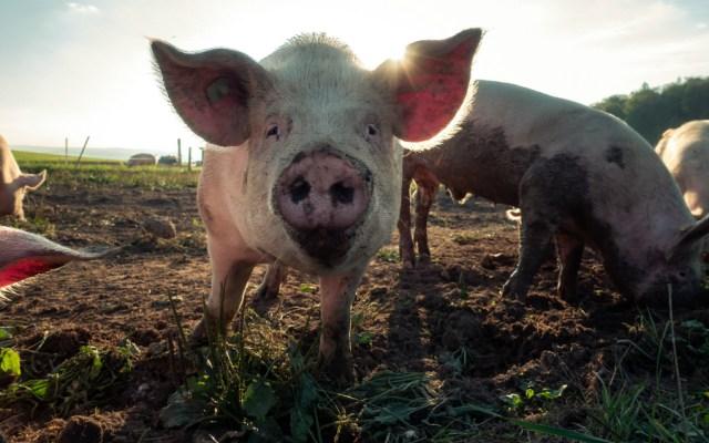 Hong Kong sacrificará 6 mil cerdos tras detección de peste porcina - Foto de Pascal Debrunner para Unsplash