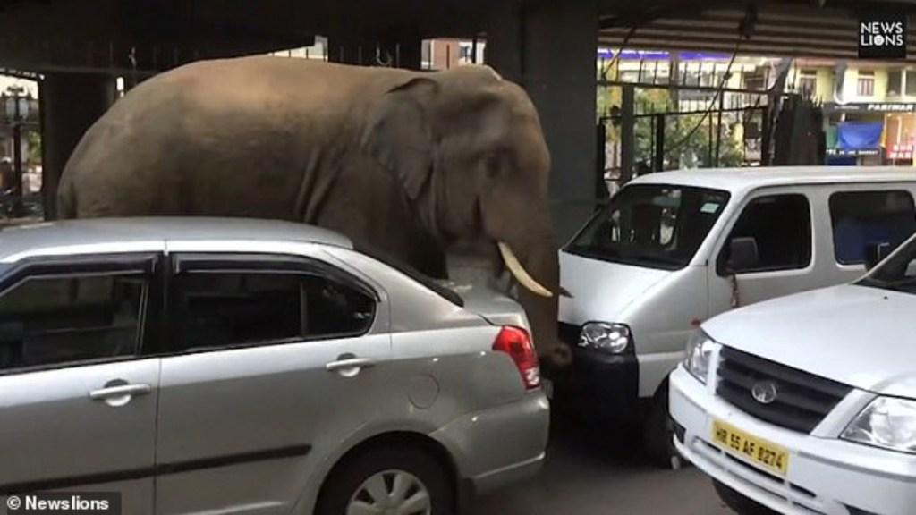 #Video Elefante salvaje deambula en calles de la India - Foto de News Lions