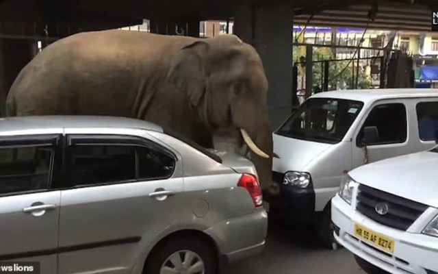 #Video Elefante salvaje deambula en calles de la India - Foto de News Lions